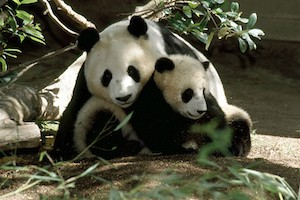 Lions, Tigers, and Panda Bears, Oh My! - The San Diego Zoo or Safari Park Package
